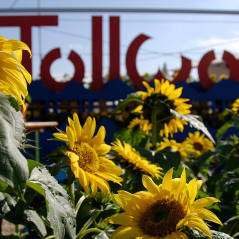 Tollwood Logo mit Sonnenblumen
